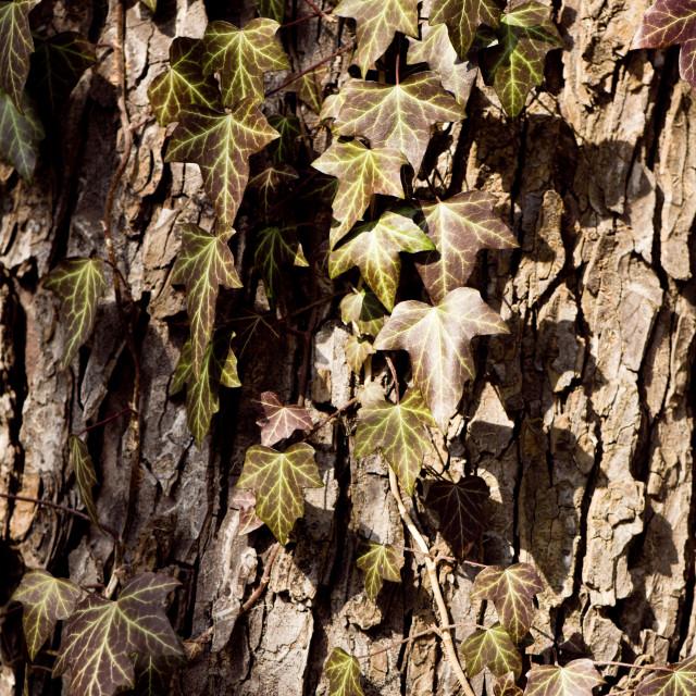 """""""Ivy leaves on tree bark"""" stock image"""