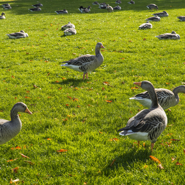 """Geese in the grass in Hyde Park"" stock image"