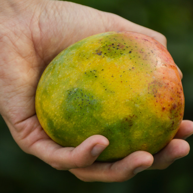 """Biological mango"" stock image"