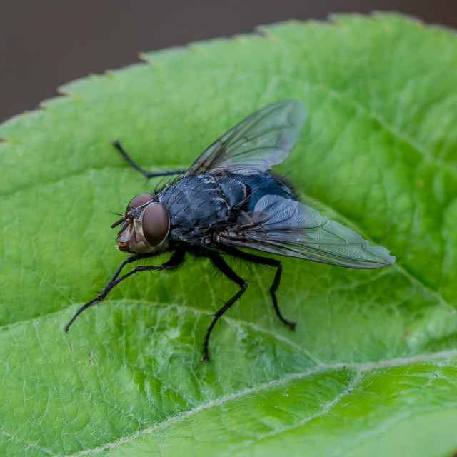 """Fly close-up"" stock image"