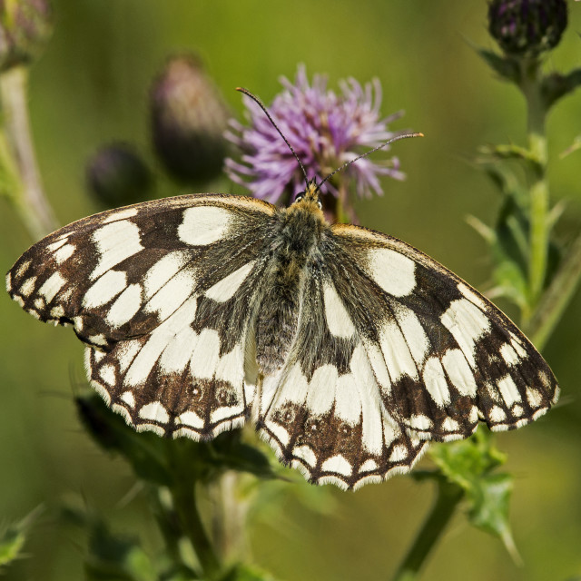 """Marble White Butterfly (Melanargia galathea) (V)"" stock image"
