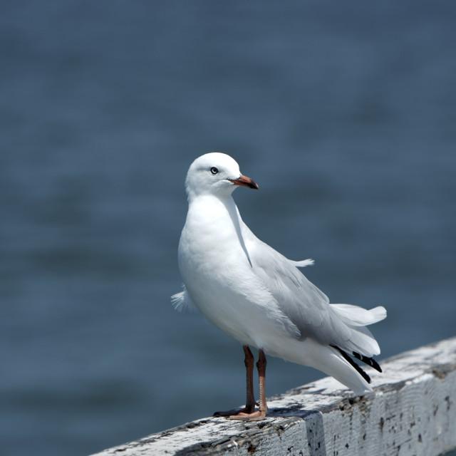 """""""Seagull Bird"""" stock image"""