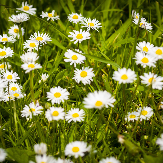 """Daisies Growing on a Lawn"" stock image"