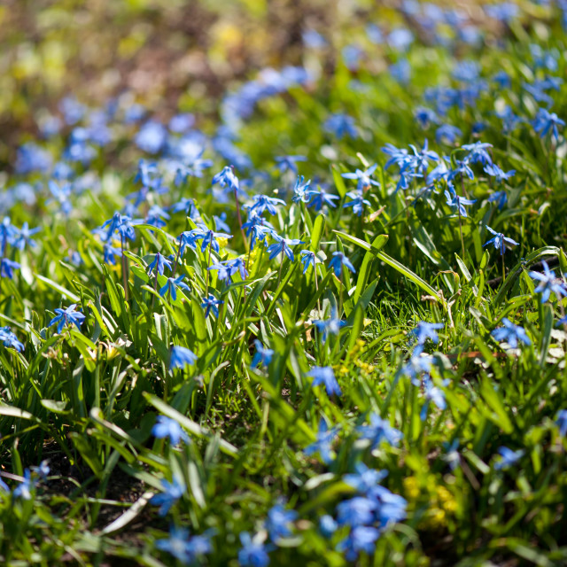 """Scilla siberica flowers bedding"" stock image"