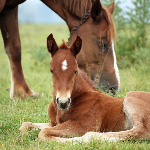 """foal and horse on pasture"" stock image"
