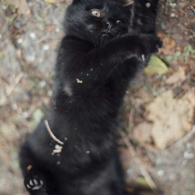 """Black kitten"" stock image"