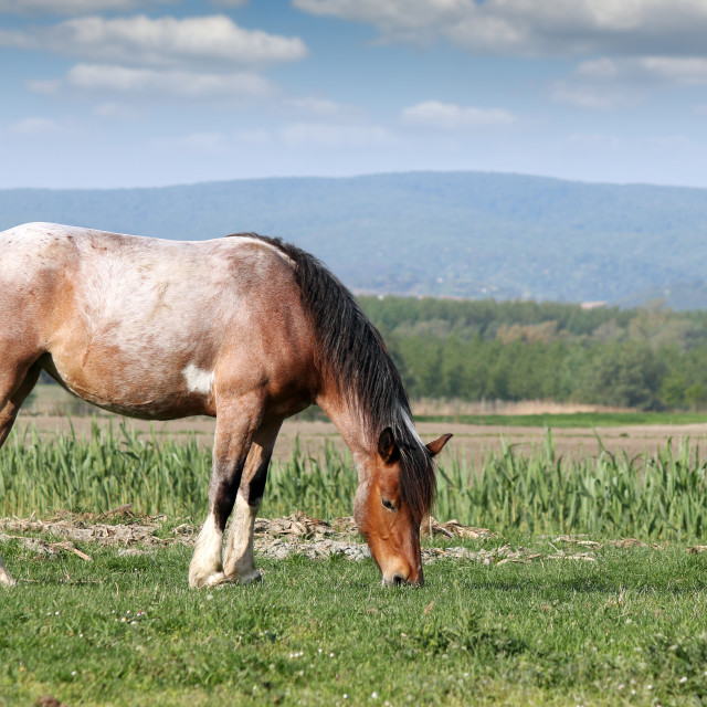 """""""horse on pasture agriculture"""" stock image"""