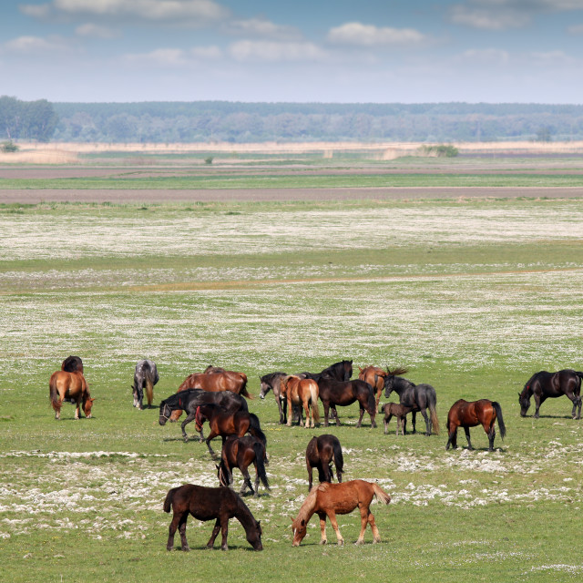 """""""horses on pasture country landscape"""" stock image"""