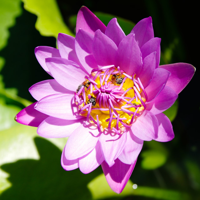 """""""A waterlily in sun light"""" stock image"""