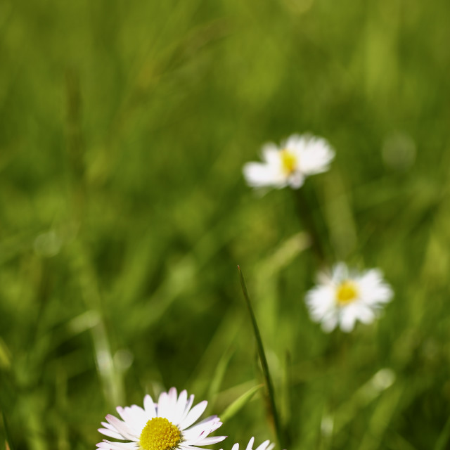 """Daisy flowers"" stock image"