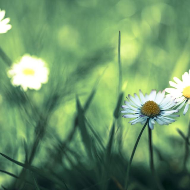 """""""Daisy plant"""" stock image"""