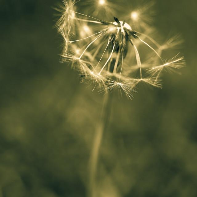 """Dandelion seed head"" stock image"