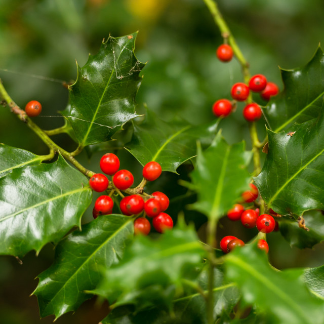 """""""Holly Leaves and Berries"""" stock image"""