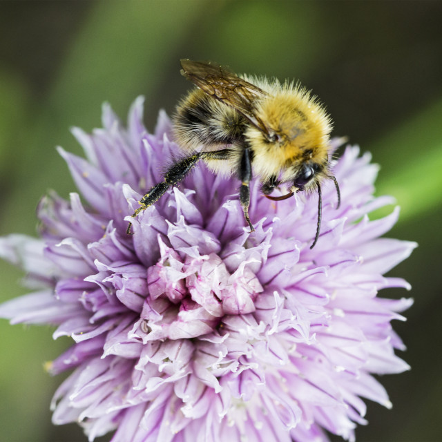 """Worker bee pollinating chive"" stock image"
