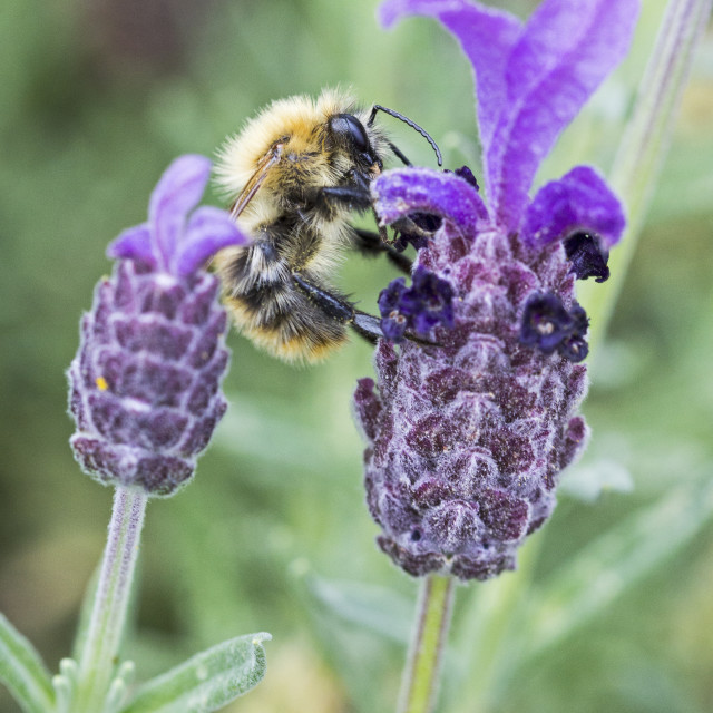 """""""Worker bee on French Lavender"""" stock image"""