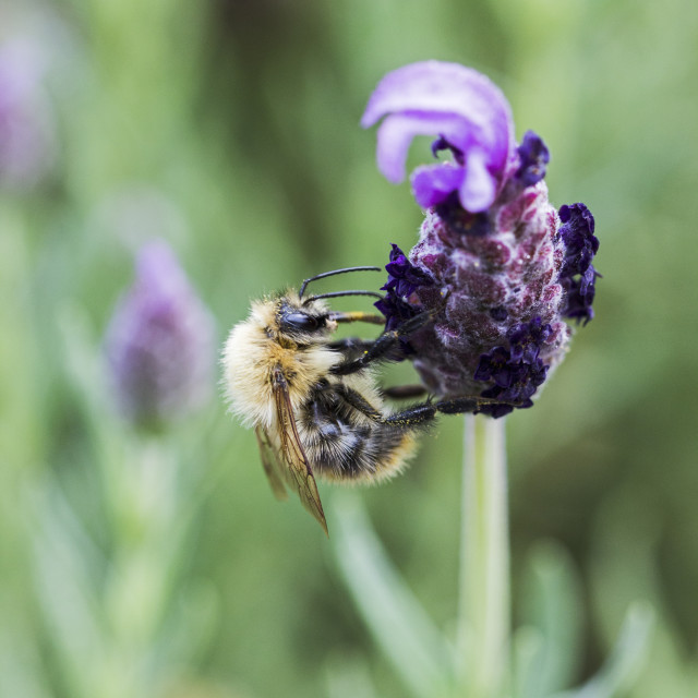 """Worker bee on French Lavender"" stock image"