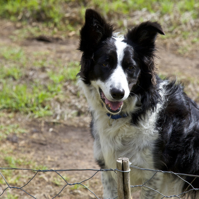 """""""Boarder collie"""" stock image"""