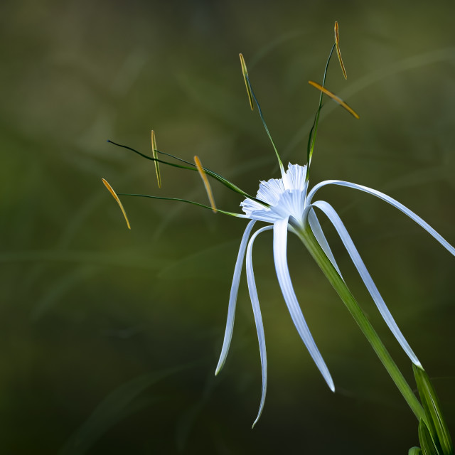 """Spider lily"" stock image"