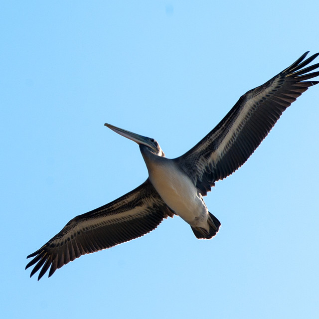 """Brown Pelican's undercarriage"" stock image"