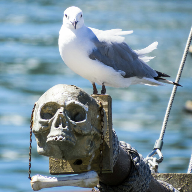 """Pirate Seagull"" stock image"