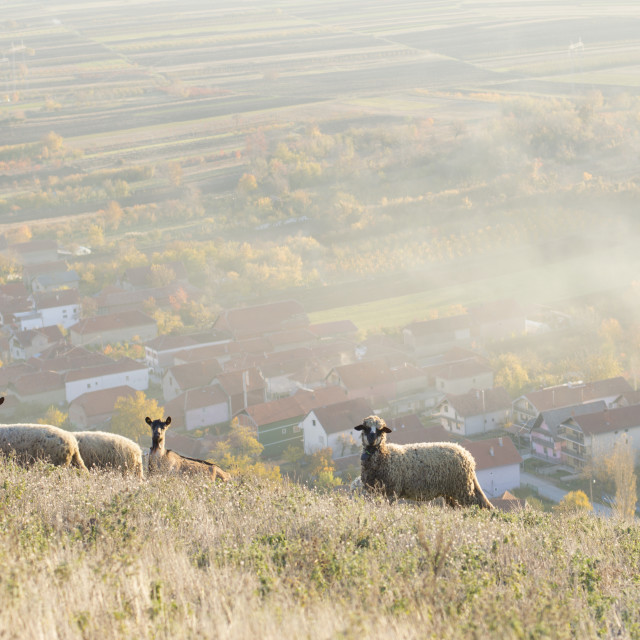 """Group of sheep and goats grazing grass above the village"" stock image"
