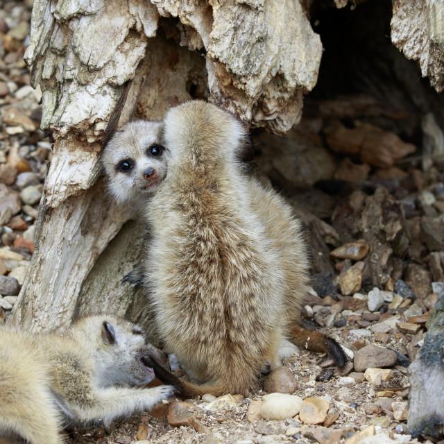 """""""Baby Meerkats"""" stock image"""