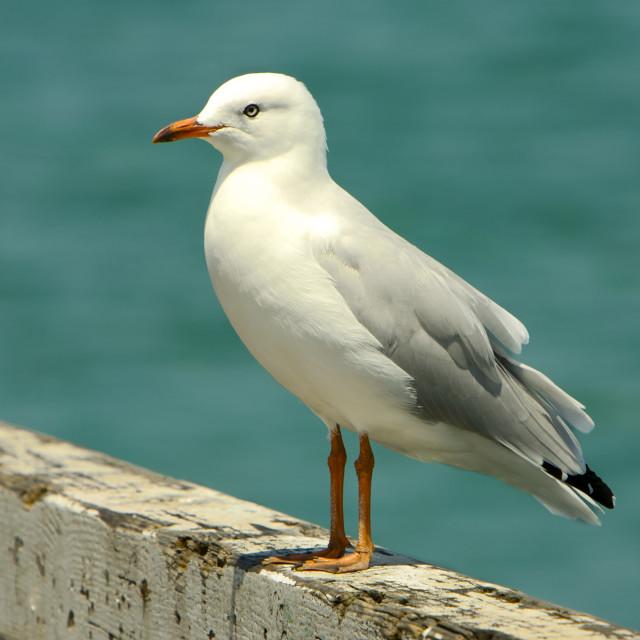 """Seagull, Beach"" stock image"