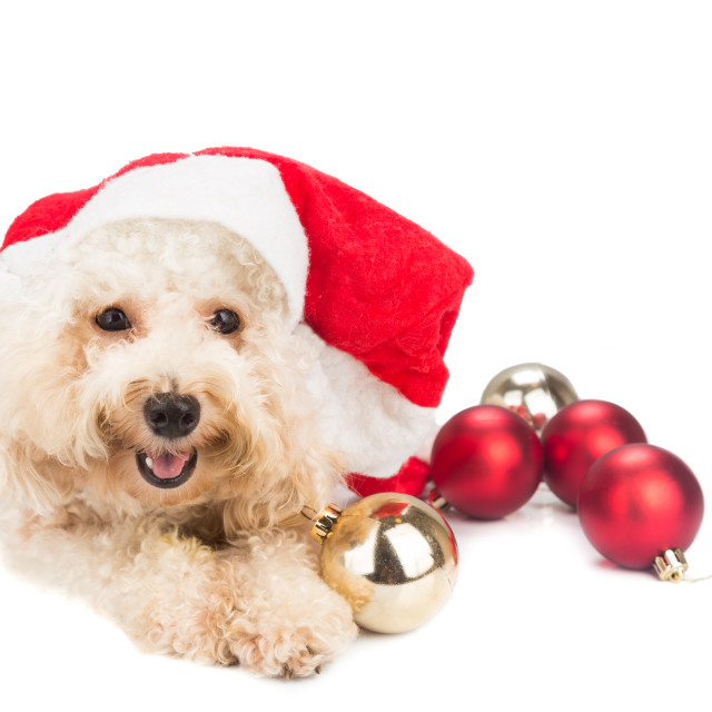 """Smiling poodle dog in santa costume posing with Christmas orname"" stock image"