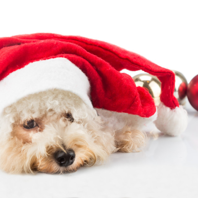 """Adorable poodle dog in santa costume posing with Christmas ornam"" stock image"
