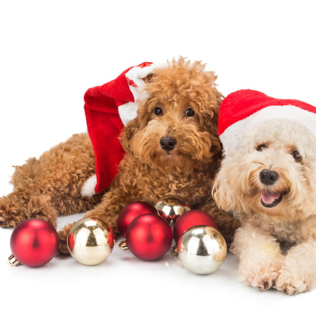 """Two cute poodle puppies in santa costume with Christmas ornament"" stock image"