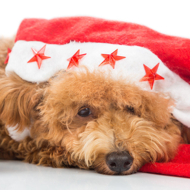 """Cute poodle dog in santa costume posing with Christmas ornaments"" stock image"