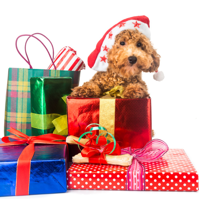 """Cute poodle puppy in Santa costume with abundant Christmas gifts"" stock image"