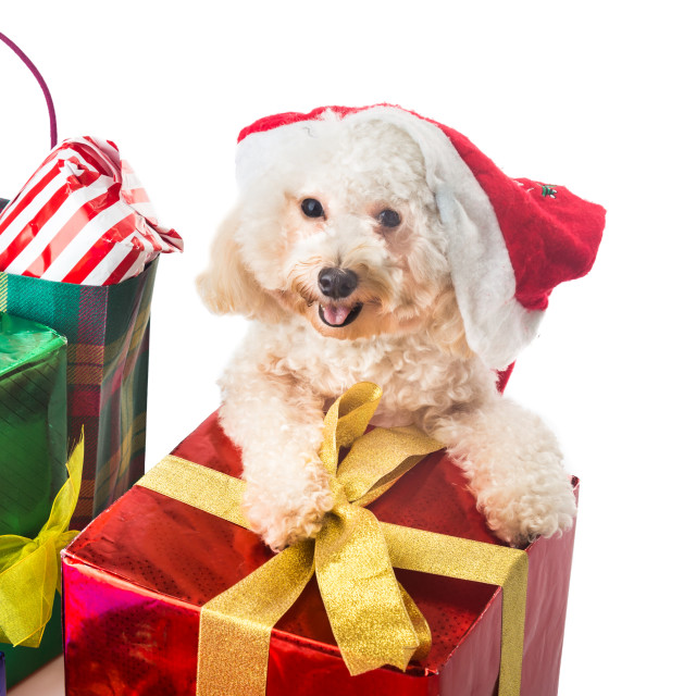 """Smiling poodle puppy in Santa costume with abundant Christmas gi"" stock image"