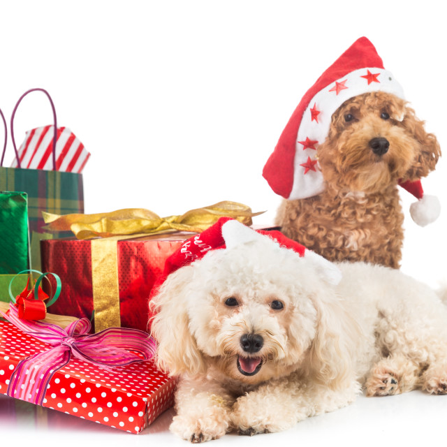 """Cute poodle puppies in Santa costume with abundant Christmas gif"" stock image"