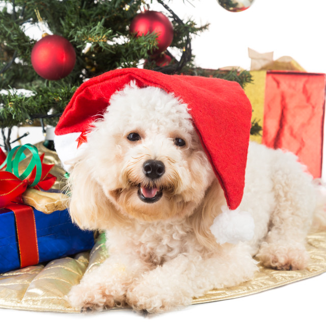 """Smiling poodle puppy in Santa hat with Chrismas tree and gifts."" stock image"