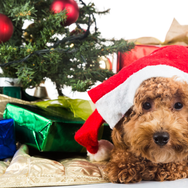 """Cute poodle puppy in Santa hat with Chrismas tree and gifts."" stock image"