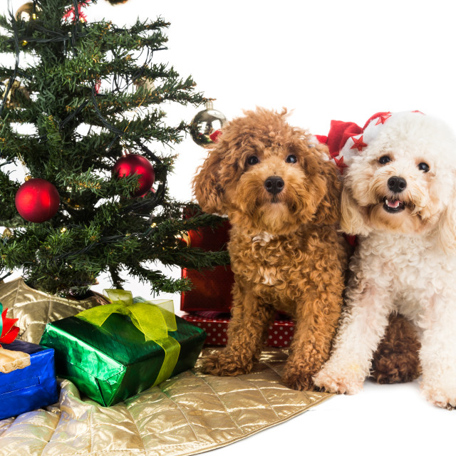 """Cute poodle puppies in Santa hat with Chrismas tree and gifts."" stock image"