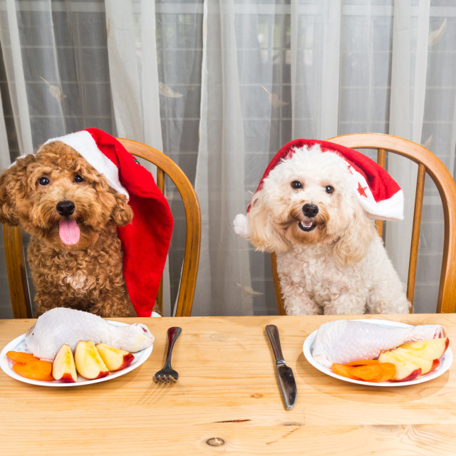 """Concept of excited dogs on Santa hat having delicious raw meat C"" stock image"