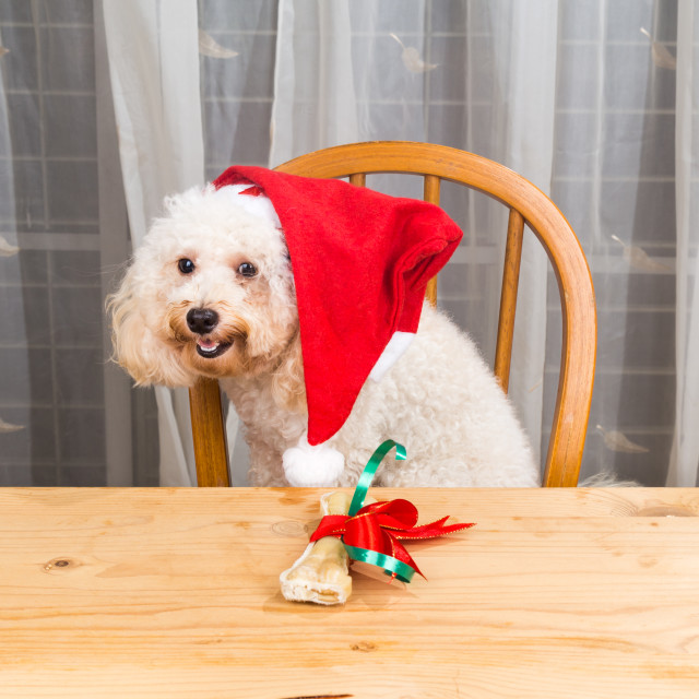 """Concept of excited dog on Santa hat with Christmas present on ta"" stock image"