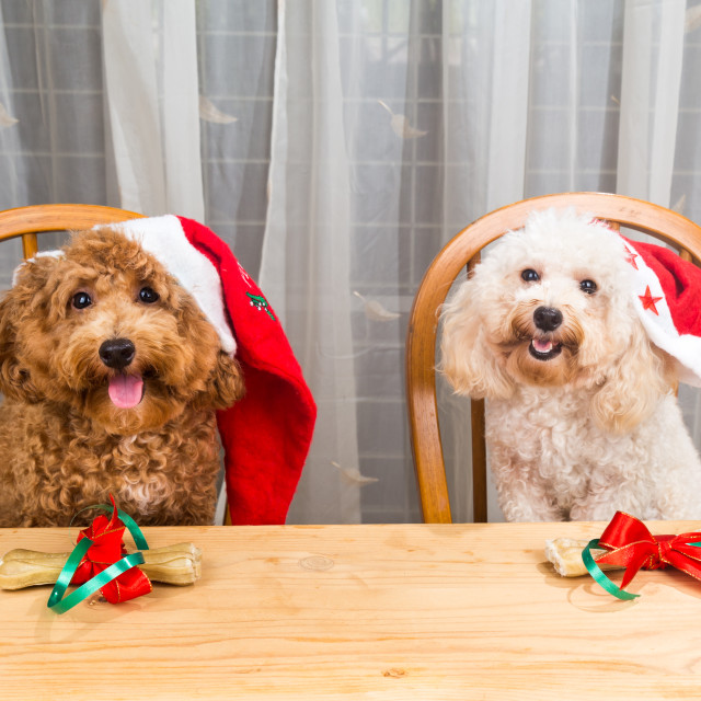 """Concept of excited dogs on Santa hat with Christmas gift on tabl"" stock image"
