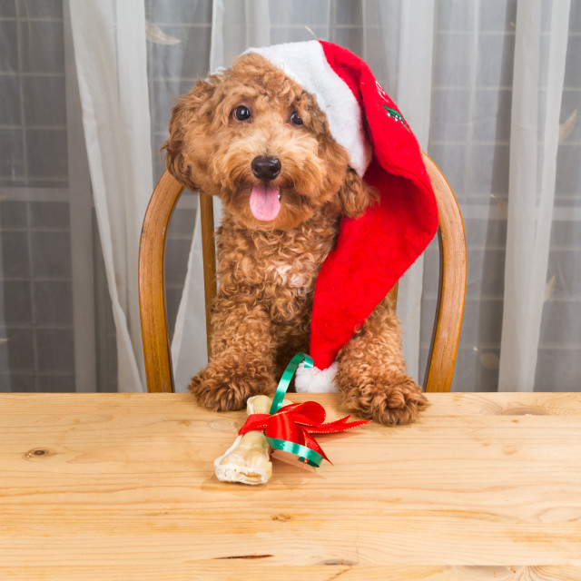 """Concept of excited dog on Santa hat with Christmas gift on tabl"" stock image"