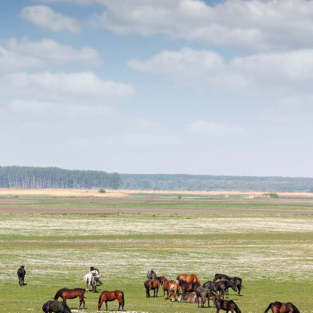 """herd of horses on field rural landscape"" stock image"
