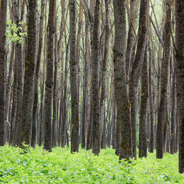 """""""forest trees and foliage summer"""" stock image"""