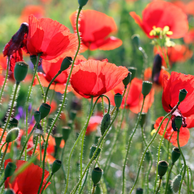 """red poppy flowers summer season"" stock image"