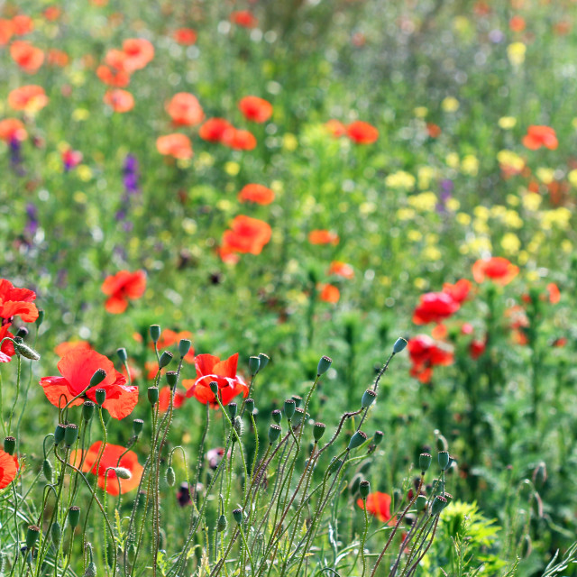 """poppy flowers meadow summer season"" stock image"
