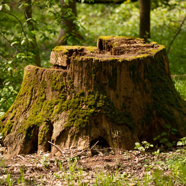 """Old dead tree stump in moss"" stock image"