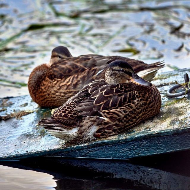"""Ducks at Rest"" stock image"