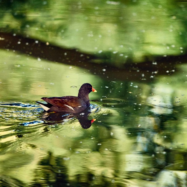 """Moorhen on the River Cam"" stock image"