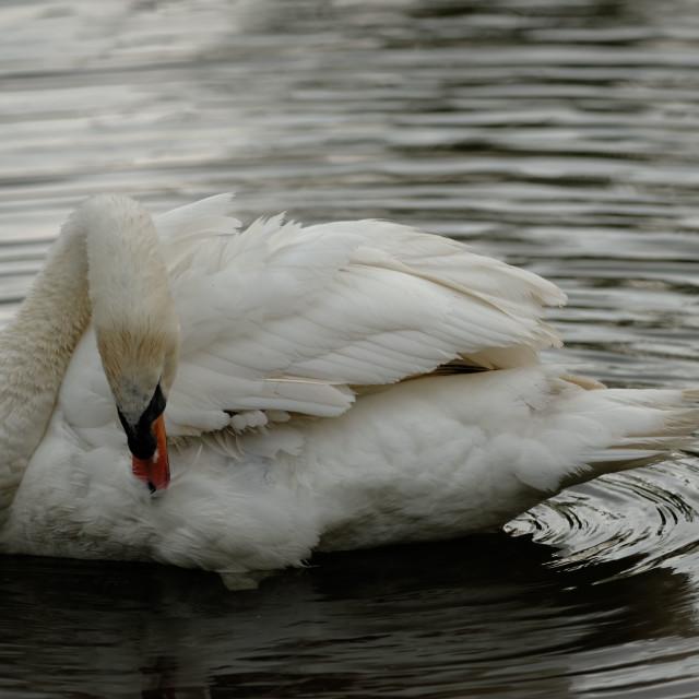 """A Mute Swan Preening"" stock image"