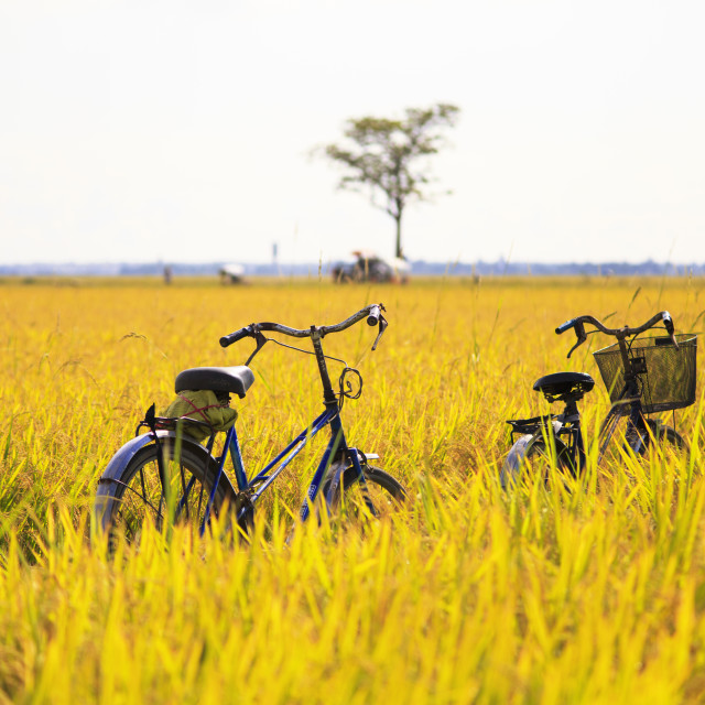 """bicycles in golden rice field"" stock image"